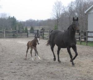 Society's Chairman daughter Caren as a foal in Ontario