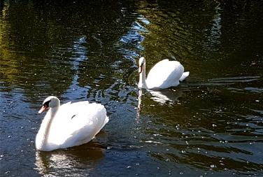 Swans at Shannondoe Farm