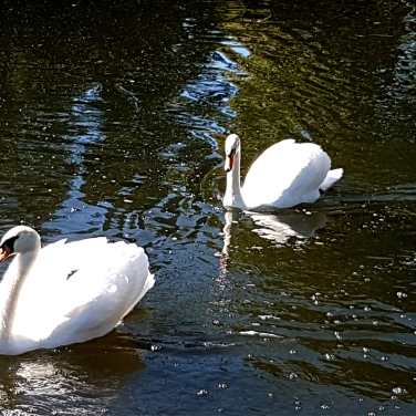 Swans at Shannondoe Farm